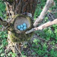 гнездо дрозда :: Краснов  Ю Ф