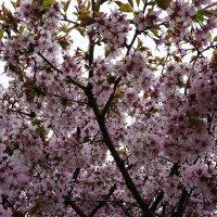 Как дивно сакура цветет :: Елена Павлова (Смолова)