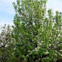 Один раз в год сады цветут... :: Тамара (st.tamara)