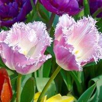 Махровые тюльпаны :: Наталья (Nata-Cygan) Цыганова