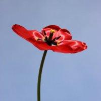 Красный тюльпан :: Mariya laimite