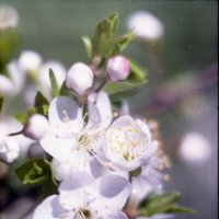 цветение :: Астарта Драгнил