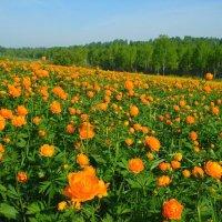 Цветы Сибири :: Милешкин Владимир Алексеевич