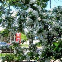 Яблоня над городом кружит в белоснежном танце :: Елена Семигина