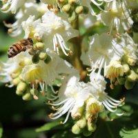 Из жизни пчёл. :: Валентина ツ ღ✿ღ