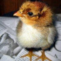 Цыплёнок :: оля san-alondra