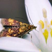Бабочка :: Евгений Чумаченко