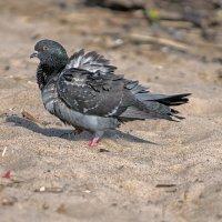 Песчанный голубь... :: Владимир Питерский