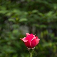 Роза :: Serg Koren