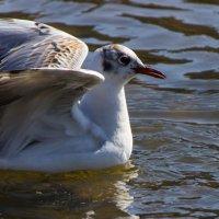 Чайка - птица гордая. :: Сергей Швайбович