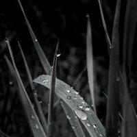 Капли на листьях :: Герман
