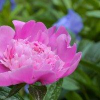 цветок Пион :: Горный турист Иван Иванов