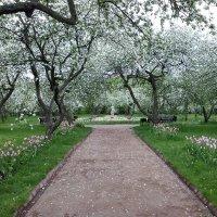 Яблоневый сад в цвету :: Владимир Вышегородцев