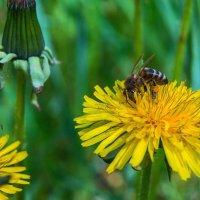 Пчелка :: Юрий Стародубцев
