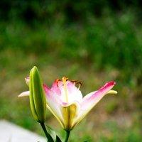 Цветущая лилия :: Екатерина Филатова