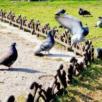 голуби :: павел
