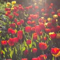 солнечные цветы :: Игорь Чубаров