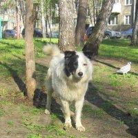 Белый Бим , чёрное ухо . :: Мила Бовкун