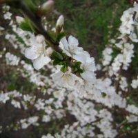 Вишня цветёт :: Анатолий