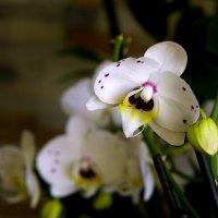 Орхидеи :: Владимир Кроливец