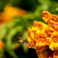 Пчёлка лети :: Александр Деревяшкин