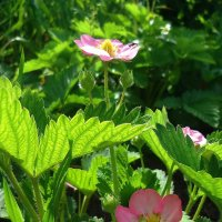 Зацвела клубника...розовым цветом... :: Galina Dzubina
