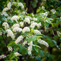 Черемуха цветет :: Екатерина Бильдер