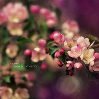 майская яблоня :: Юлия Решетникова