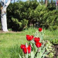 тюльпаны :: Сергей Говорков