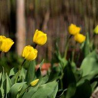 желтые тюльпаны :: olgert6969