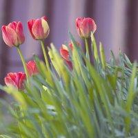 тюльпаны :: Андрей Сердюченко