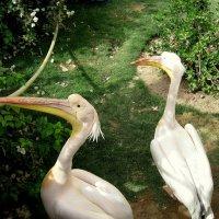 Пеликаны. :: Маргарита ( Марта ) Дрожжина