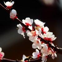 Абрикос в цвету :: Анатолий Иргл