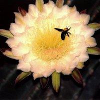 Цветок кактуса :: Евгений Дубинский