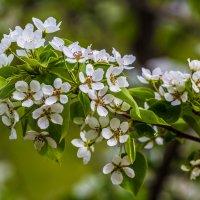 flowering pear. siberia. may. :: Дмитрий Карышев