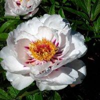 Цветы из сада  Выдубицкого могнастыря Фото№1 :: Владимир Бровко