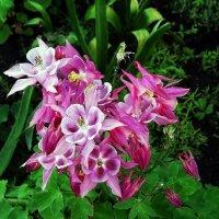 Цветы из сада Выдубицкого монастыря Фото №5 :: Владимир Бровко