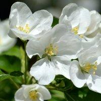 Яблоня в цвету :: Вадим Поботаев
