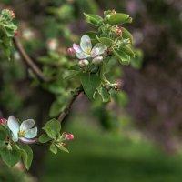 Яблони цветут :: Кирилл Стопкин