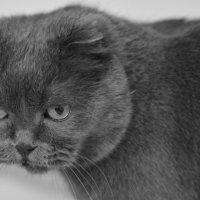 домашний тигр... :: Светлана Прилуцких