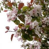 Цветущая яблоня :: Ирина Н