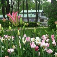 Тургеневские тюльпаны :: Peripatetik