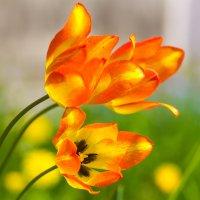 Тюльпаны :: Serg Koren