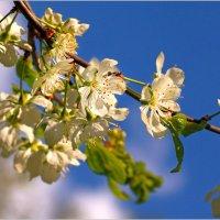 Слива цветёт :: Olenka