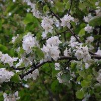 Цветение яблони :: Александр Буянов