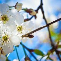 весна :: Виктория Виноградова