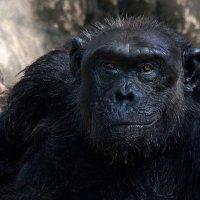 Шимпанзе :: Евгений Печенин