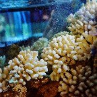 Кораллы :: Кристина Семакина