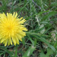 Одуванчик цветет :: Serg