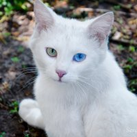 Дворовый любимец кот Беляш :: Сергей Хомич